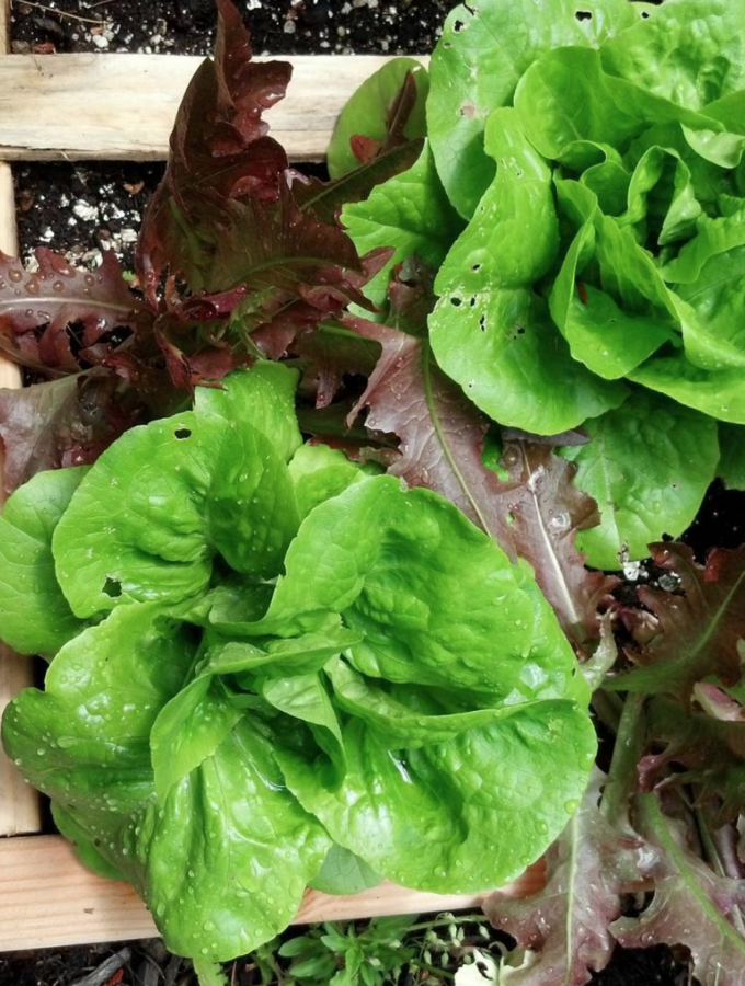 4 lettuces growing in Square Foot Garden
